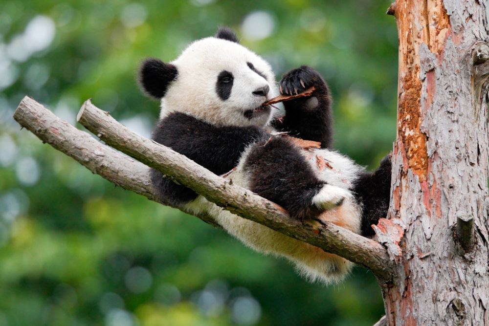 Chengdu is renowned for its panda population
