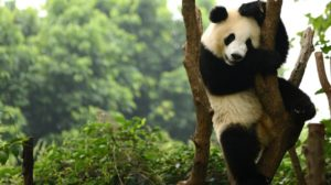 Visiting the pandas in Chengdu is a great option for family holidays from Hong Kong
