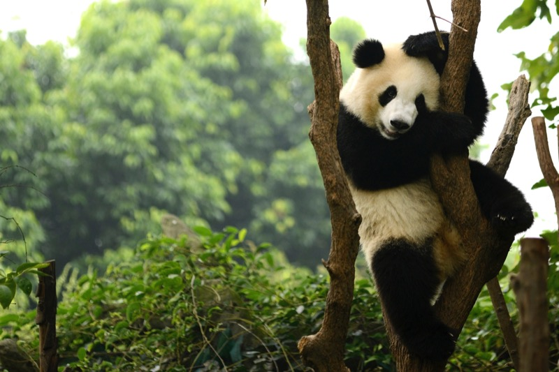 Visiting the pandas in Chengdu is a great option for family holidays